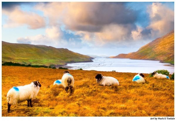 Connemara Sheep in Rural County Galway - Irish Landscape Print by Mark Tisdale